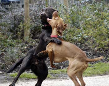 dogs-fighting1.jpg
